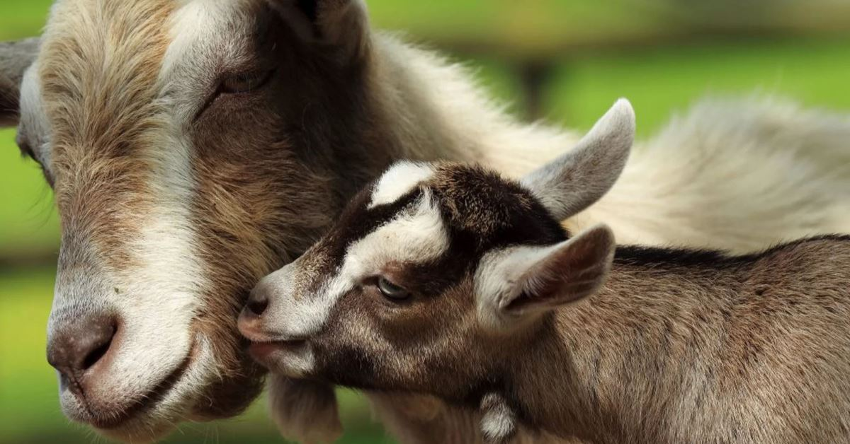 Mother Goat & Kid