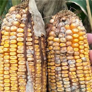 Mycotoxins: Staying ahead of the threat