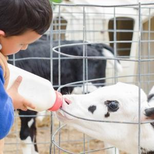 Boy bottle feeding calf