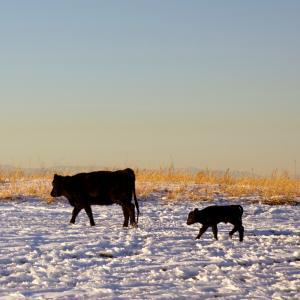 Winter Cow and Calf